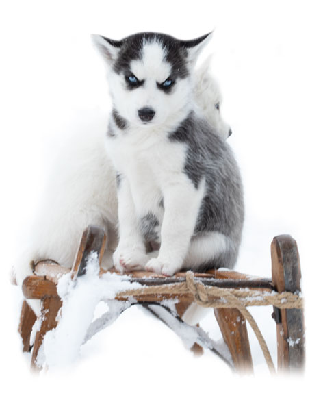 Husky puppy on chair in the snow